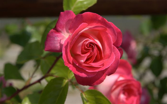 Beautiful Rose Flower Images, Photos And Pictures Free Download ❤