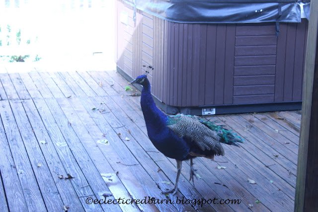 Eclectic Red Barn: Peacock on the Deck