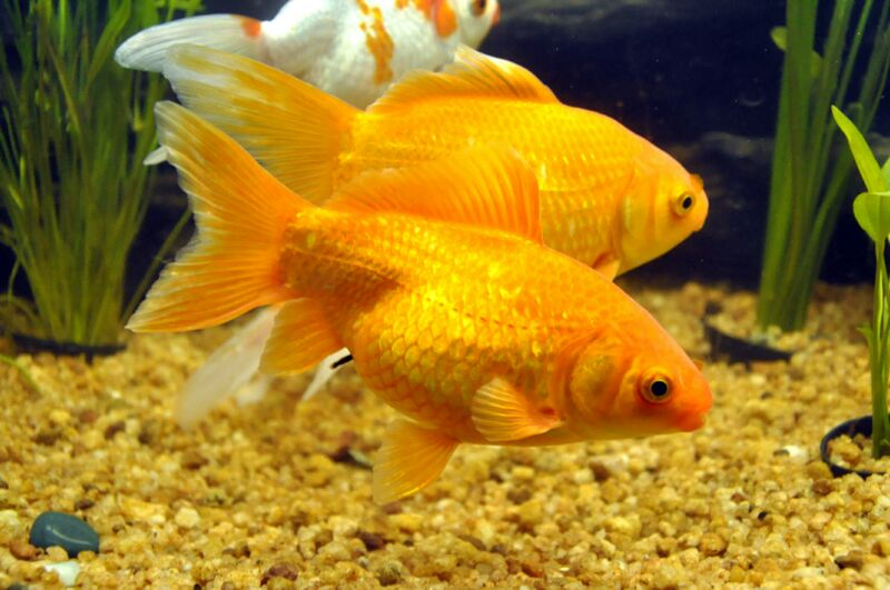 24 market reports global ornamental fish market research for Japanese ornamental fish