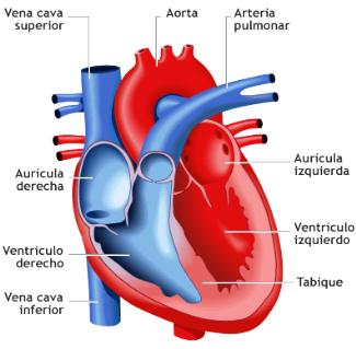corazon - El Corazón Humano Anatomía, Función