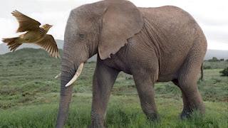 L'elefante e l'allodola - Anonimo