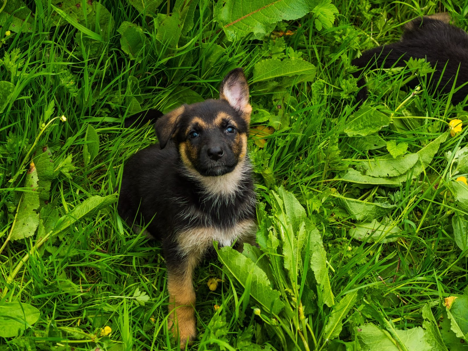A German Shepherd puppy looking up at the camera with one ear up.