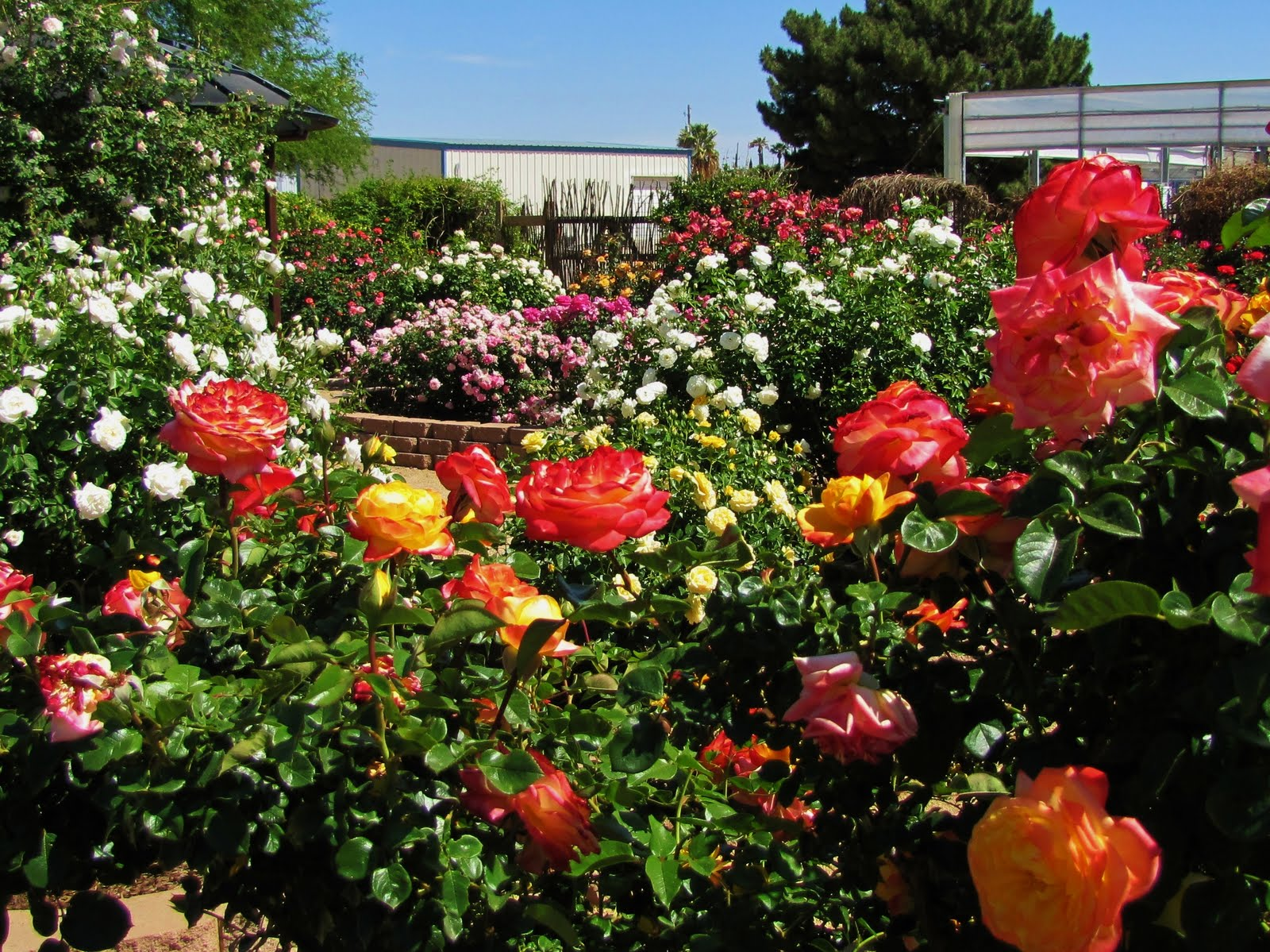 Right Now Is Prime Time Rose Season In Tucson. There Is Something To Be  Said About Rose Gardens And The Magic They Bring Twice A Year.