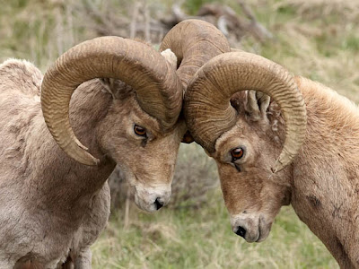 big horn rams butting heads