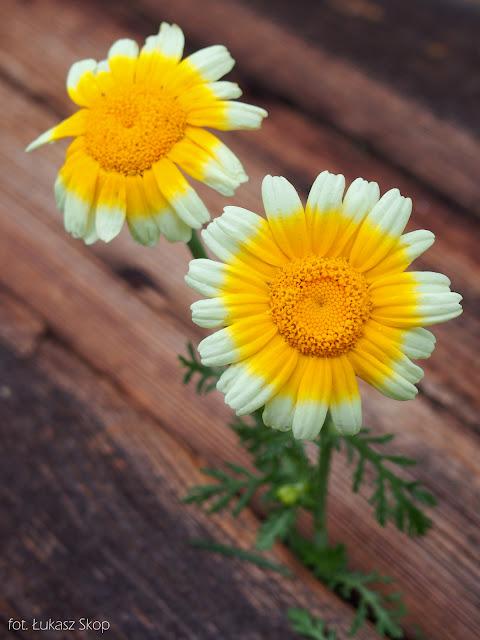 jadalne kwiaty złocienia