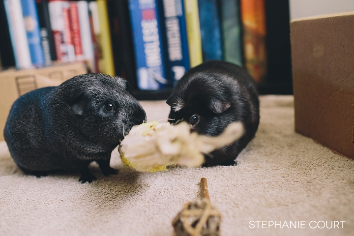 guinea pigs playing with chew toys