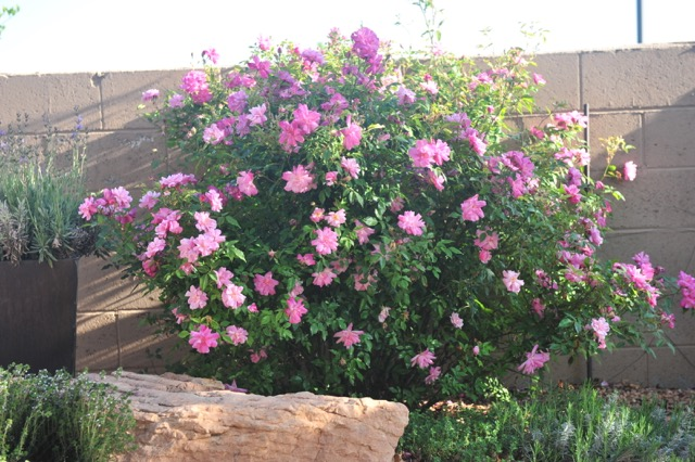 the modern house garden: why I grow roses