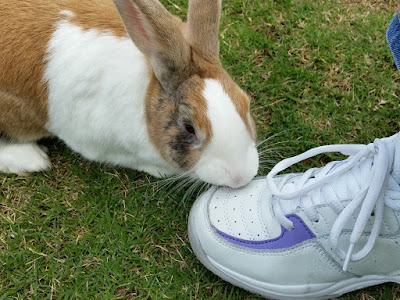 Closer view of Max the bunny nibbling the sports shoe. One can see his right side which has a large white patch against ginger colouring. His face is ginger with black flecks at the sides and a white blaze on his forehead and muzzle. The sports shoe is white with a purple accent.