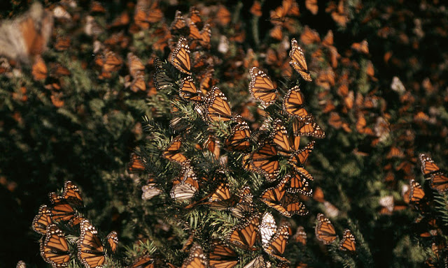New study shows 27% decrease in area occupied by monarch butterflies
