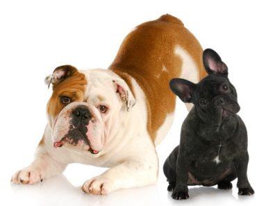 Bulldog Inglés