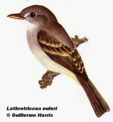 Mosqueta parda,  Lathrotriccus euleri