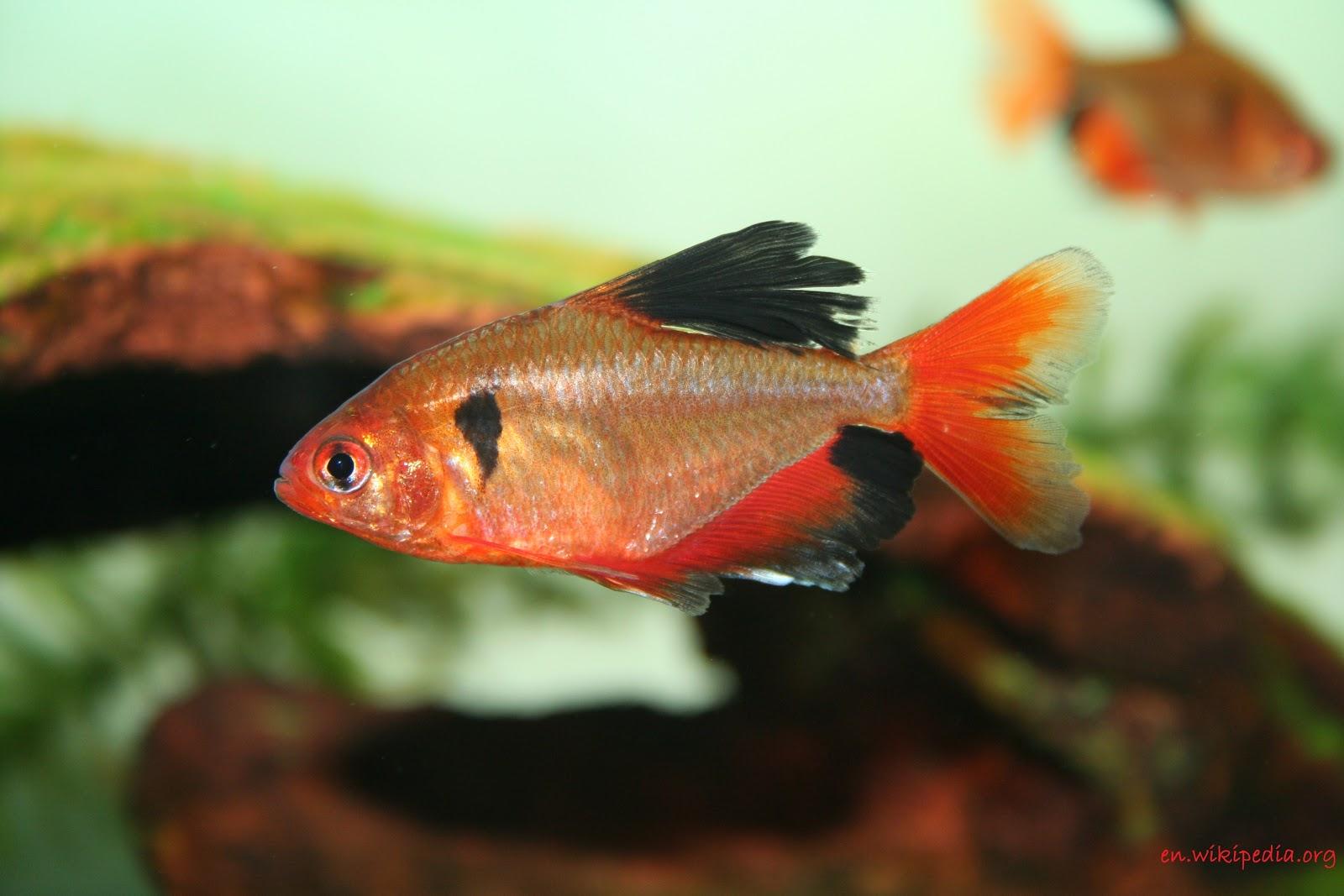 Serpae Tetra - Jenis Jenis Ikan Hias Air Tawar Aquascape Paling Lengkap