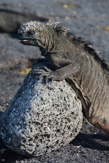 Espinoza Point iguana posing