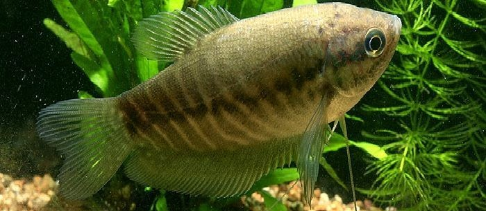 Panduan Lengkap Budidaya Ikan Sepat Siam (Trichogaster Pectoralis)