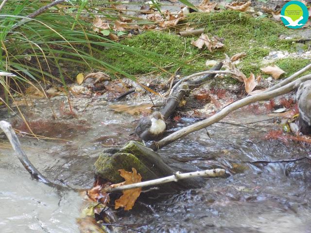 Ένας νεροκότσιφας στον ποταμό Αχέροντα (+ΒΙΝΤΕΟ)