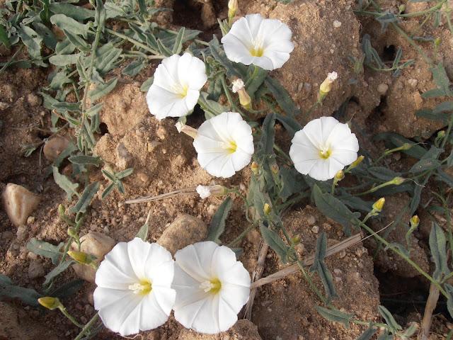 Flores de CORREHUELA  Convolvulus arvensis