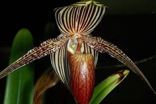 «Золото Кинабалу»  самый редкий вид орхидей