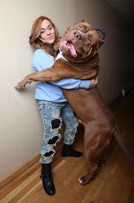 Pitbull enorme