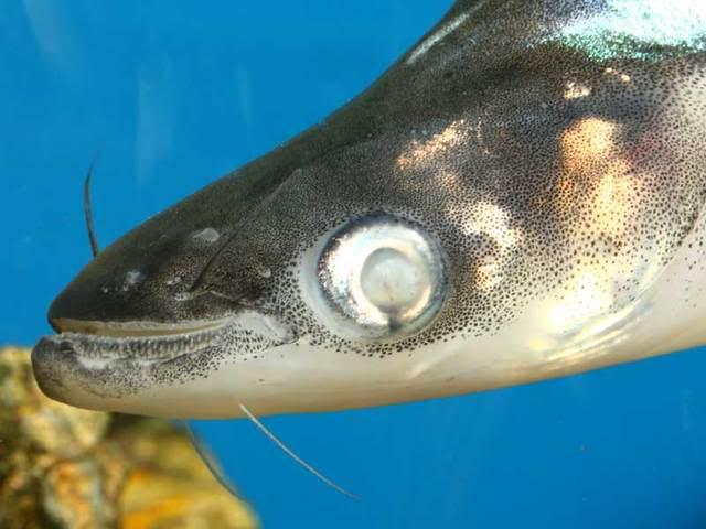 Mengobati Penyakit Mata Putih Pada Ikan Teknik Tani Ikan