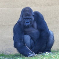 Gorille Pairi Daiza