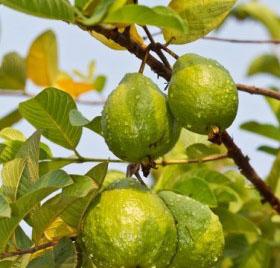 Manfaat daun Jambu dan Khasiat daun Jambu