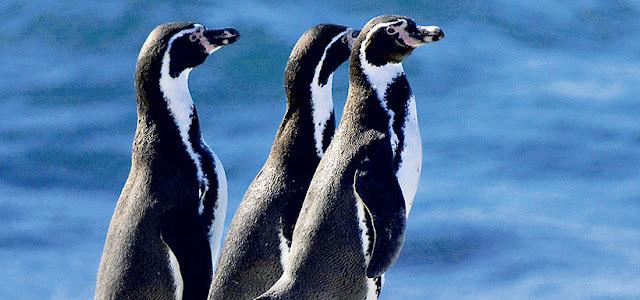 Algarrobo, Chile - pingüino de Humboldt