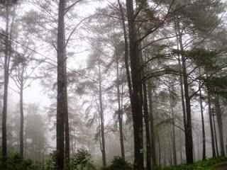 Malino Pine Forest
