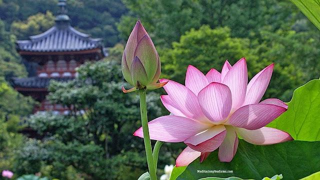¿Por qué ser como la flor de loto?