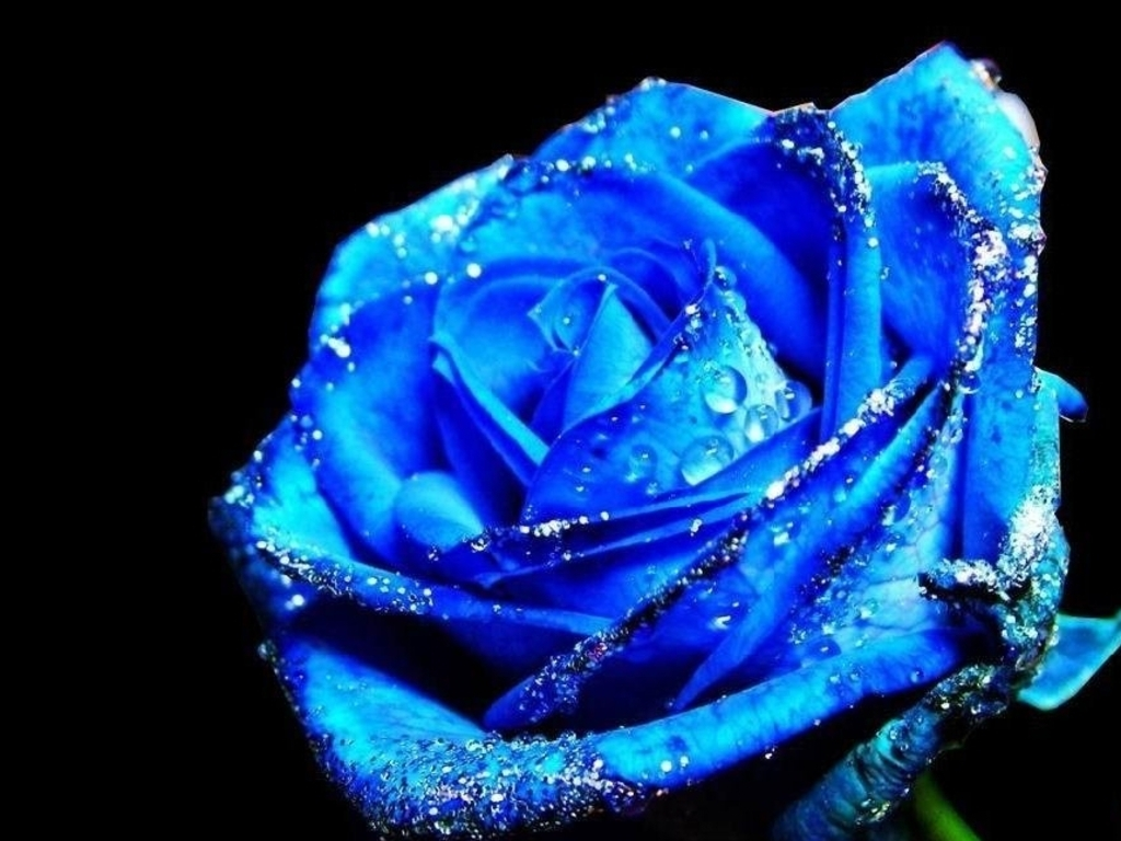Free Wallpapers Blue Rose Wallpapers-6170