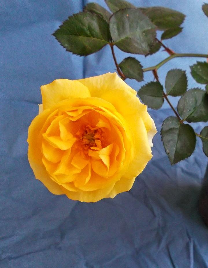 odenwaelder rosen gelbe mariella 2 jahre sp ter. Black Bedroom Furniture Sets. Home Design Ideas