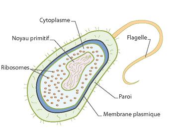 Cellule procaryote