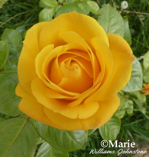 New rose bud in pale orange with leaf green foliage.