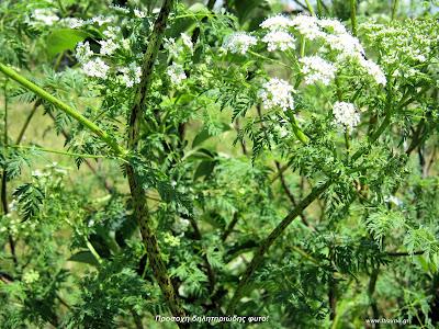 Κώνειο: Conium maculatum L.