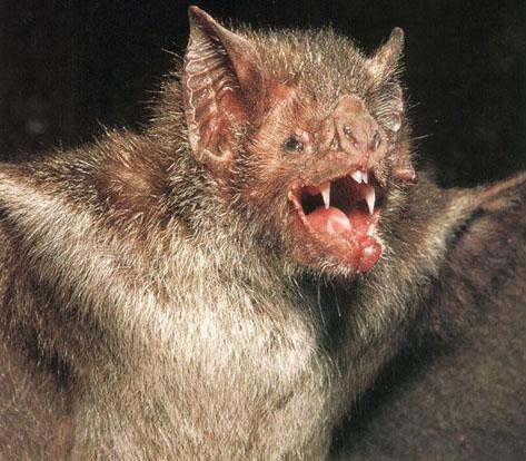 Baby Bat Food