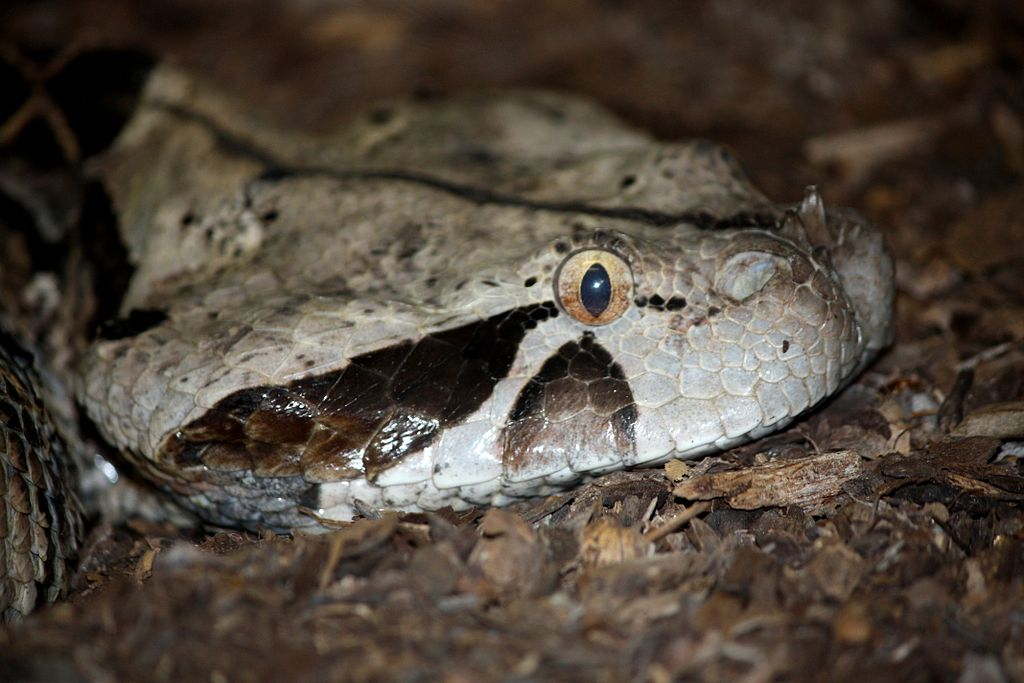 Snake Eyes Hd Wallpapers Snakes Gaboon Viper