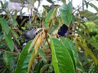 Foto Pertunasan Baru Durian Menoreh KUning