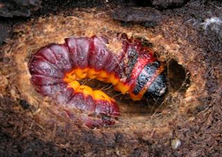 Cossus cossus - Cossus gâte bois