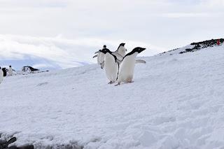 Penguins- shot