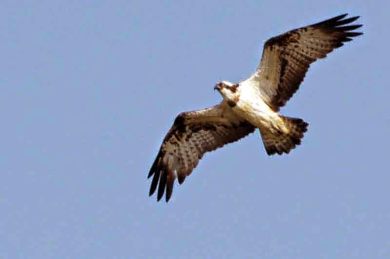 Osprey, wings spread