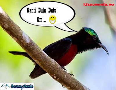 Cara Paling Tepat Merawat Kolibri Ninja Mabung