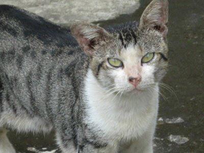 Hasil gambar untuk anak kucing belang kampung
