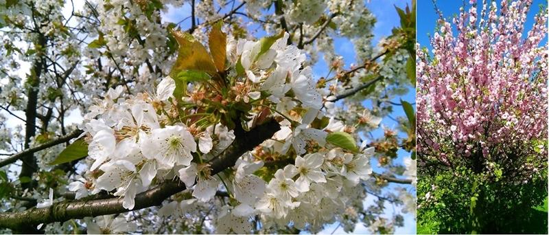 kwiaty migdałka i czereśni