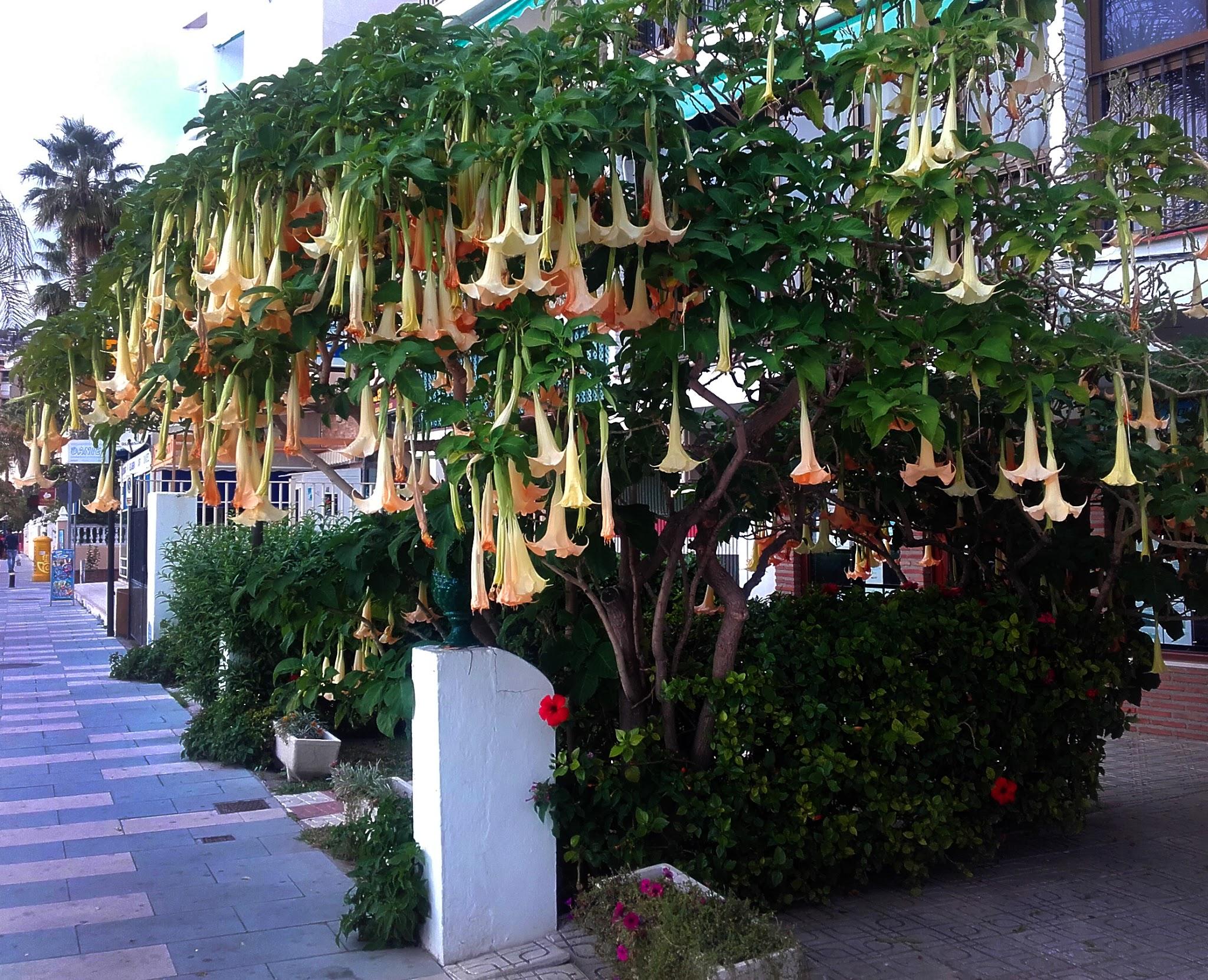 Angel's Trumpet plant in Spain