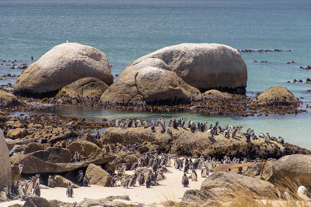 south african penguins, top destinations, attractions, cape town south africa boulders beach