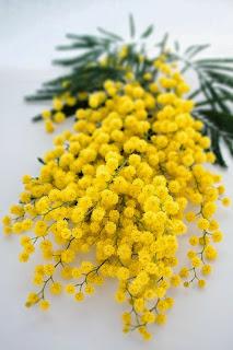 mimosa, acacia, wattle