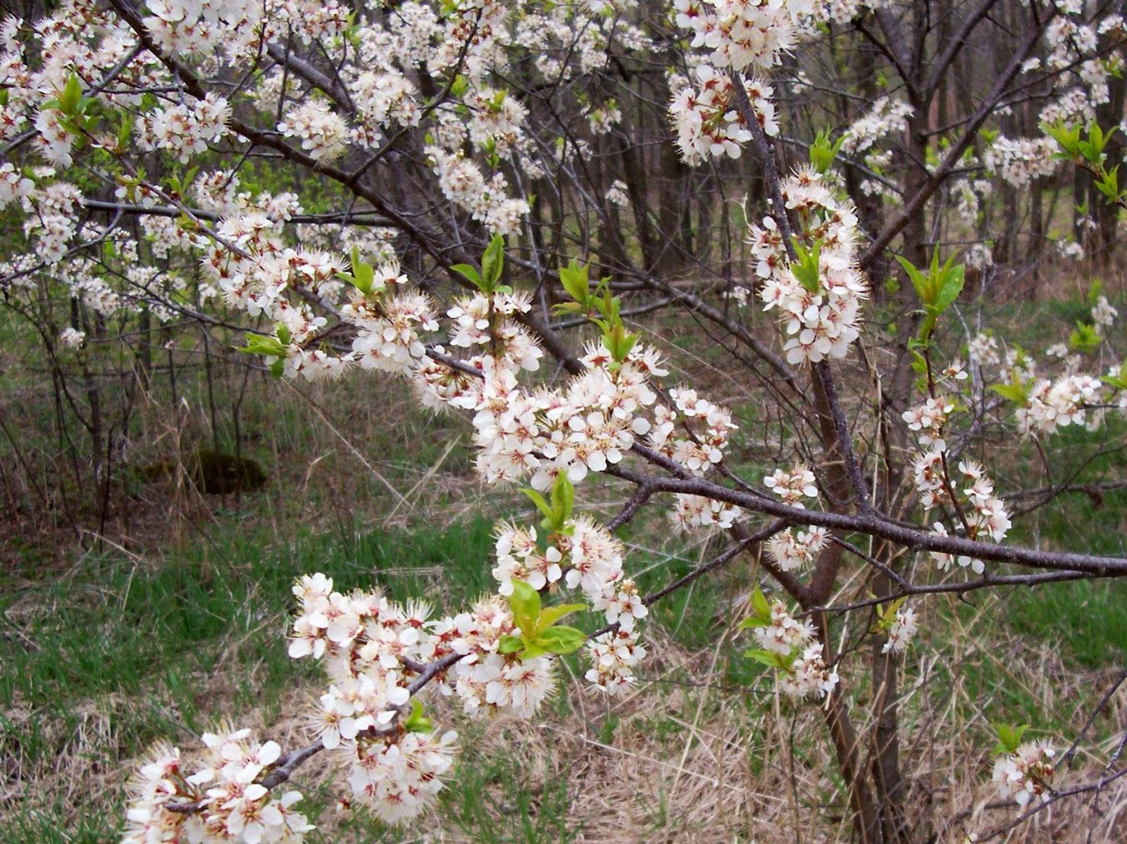 how to grow wild plum seeds