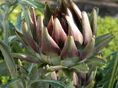 Cynara cardunculus Globe artichoke at the Toronto Botanical Garden by garden muses-not another Toronto gardening blog