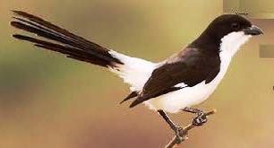 gambar burung pentet pakan