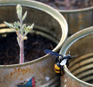 Big bee climbing up the seedling tins