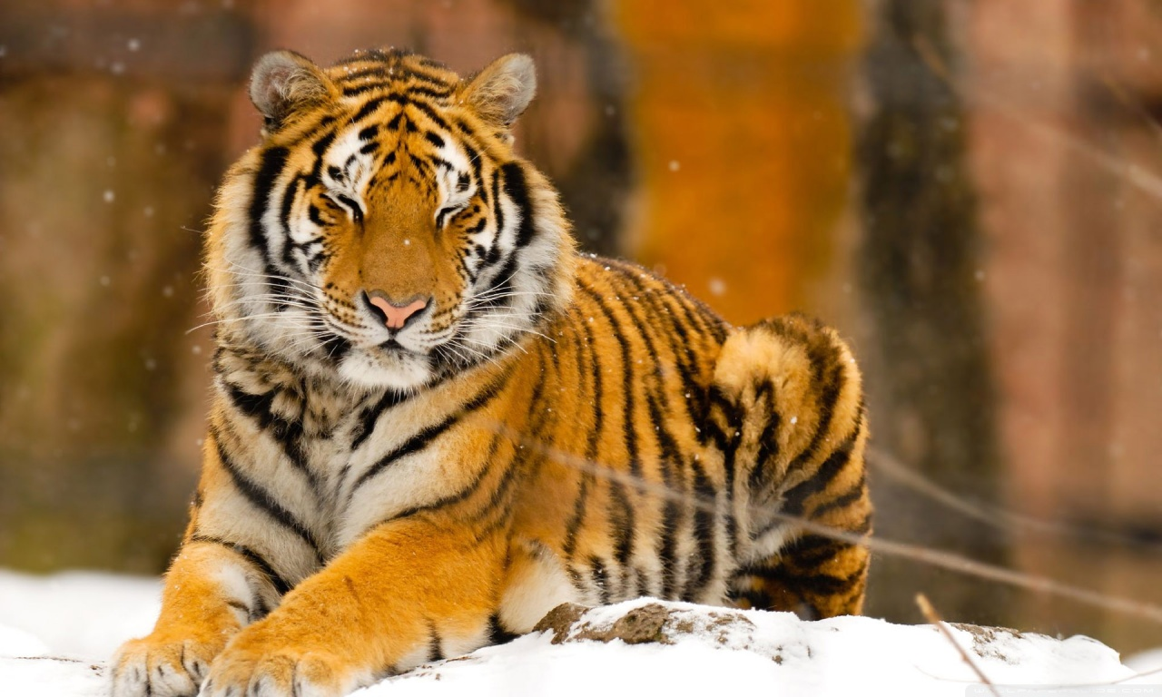 A Place For Free HD Wallpapers | Desktop Wallpapers: Tiger Wallpapers